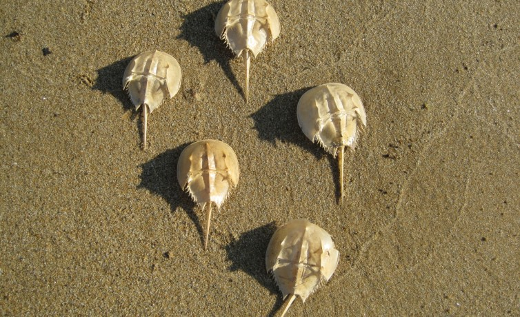 horseshoe crab parade