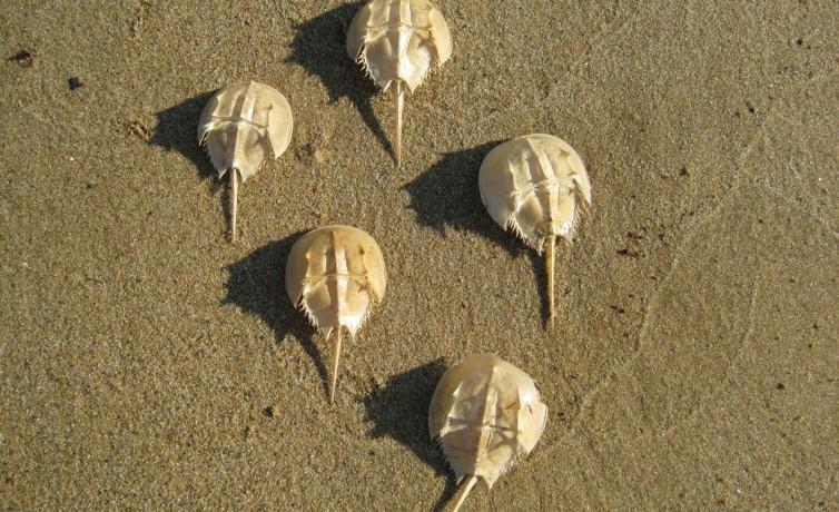 horseshoe crab parade